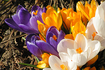 Beginning of spring is a time when only the hardiest flowers like the crocus are in bloom.