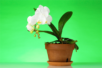 Orchid in a flower pot against green background
