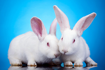 Two white baby rabbits