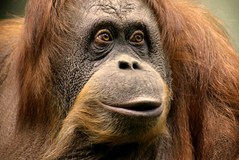 Face of an orangutan.