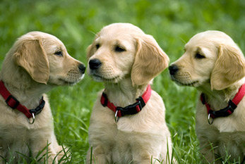 Three Golden Retriever puppies on a meadow.