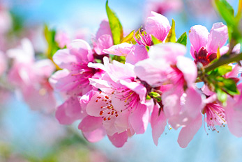 Pink peach blossoms taken on a sunny day in spring.