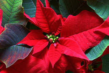 Photo of a poinsettia with red bracts.