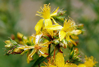 Yellow St. John's Wort (hypericum) on St. John's Day.