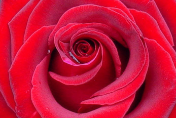 A rose for Valentine's Day as a sign of love.