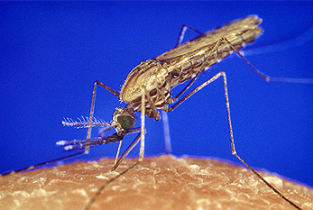 The mosquito Anopheles can transmit malaria.
