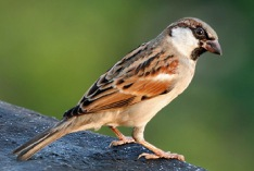 World Sparrow Day 2021